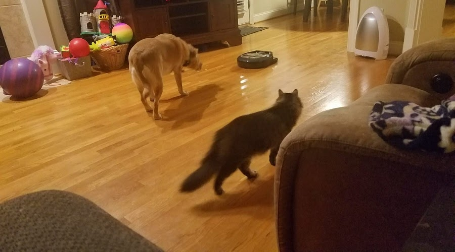Short-haired dog and a grey medium-haired cat, both chasing a robot vacuum