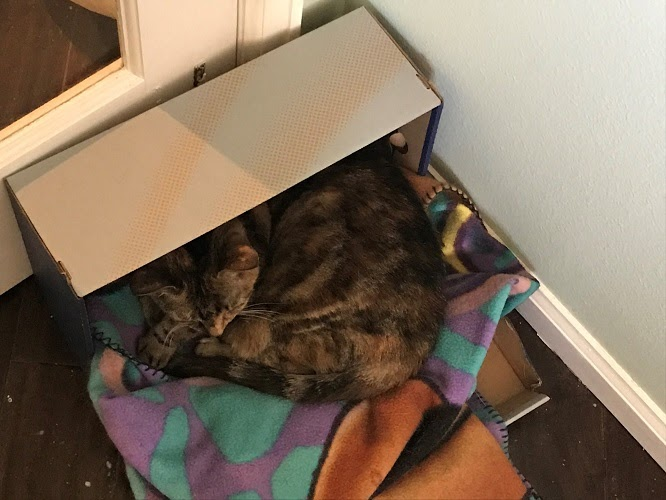 An grey tabby cat in a shoebox with a blanket