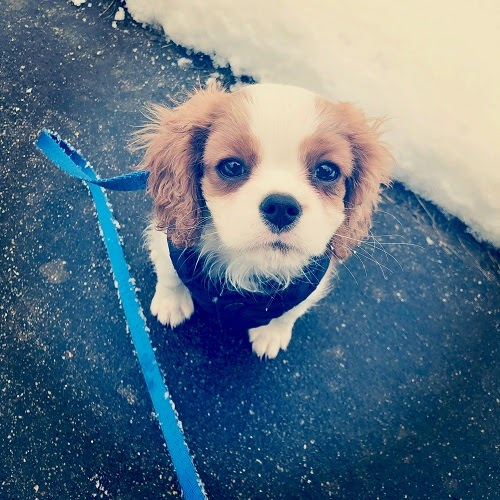 Small brown-and-white dog on a blue leash, looking up